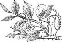 Sarsaparilla Officinalis